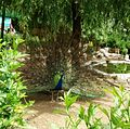 Peacock dancing.jpg