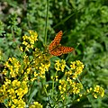 Pearl-bordered Fritillary - part 2 (17941882476).jpg