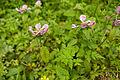 Pedicularis resupinata var. caespitosa 02.jpg