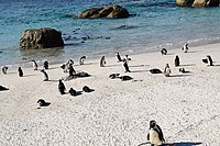 Penguins at Boulders Beach, Cape Town (20).jpg
