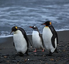 Penguins walking -Moltke Harbour, South Georgia, British overseas territory, UK-8.jpg