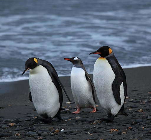 Penguins walking -Moltke Harbour, South Georgia, British overseas territory, UK-8