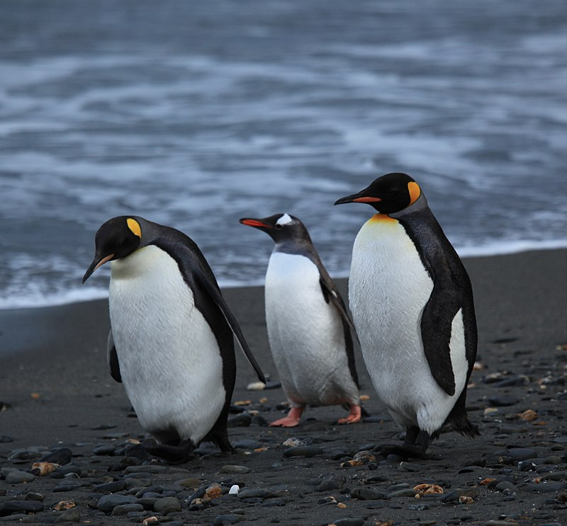 https://upload.wikimedia.org/wikipedia/commons/thumb/9/9e/Penguins_walking_-Moltke_Harbour%2C_South_Georgia%2C_British_overseas_territory%2C_UK-8.jpg/800px-Penguins_walking_-Moltke_Harbour%2C_South_Georgia%2C_British_overseas_territory%2C_UK-8.jpg
