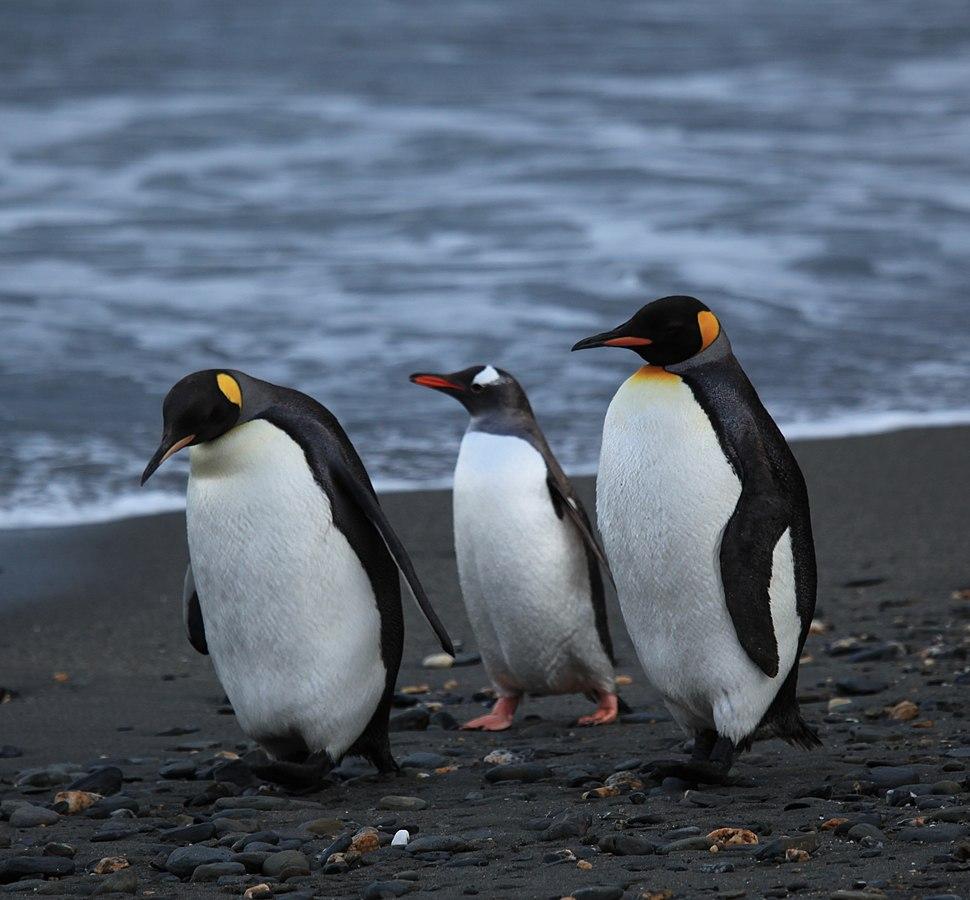 Penguins walking -Moltke Harbour, South Georgia, British overseas territory, UK-8