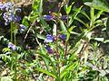 Penstemon True Blue - Flickr - peganum (2).jpg