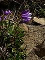 Penstemon fruticosus 15599.JPG
