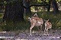 Persian Fallow Deers in Dasht-e Naz Wildlife Refuge 2020-06-02 18.jpg