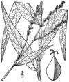 Persicaria setacea BB-1913.png