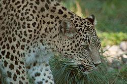 Persischer leopard2cele4.jpg