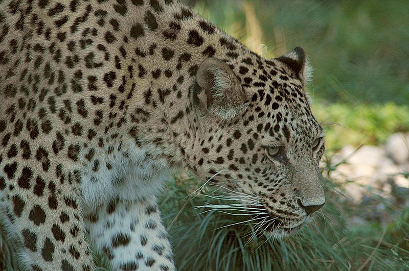 Ягопард:(гибрид ягуара и леопарда.  Ну его я к сожалению не нашла,только...