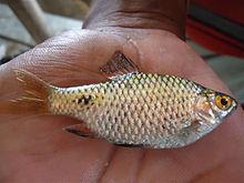 Assamese cuisine wikipedia for Assamese cuisine fish