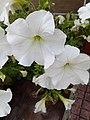 Petunia hybrida - πετούνια 04.jpg