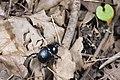 Phelotrupes(Sinogeotrupes) insulanus (28097332746).jpg