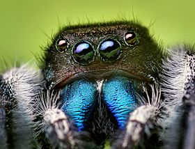An adult male Phidippus audax
