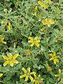 Phlomis lanata (9183395166).jpg