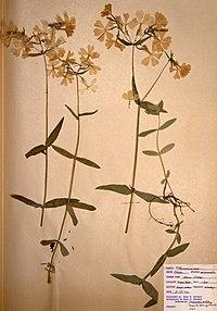 Phlox divaricata ssp. divaricata BW-1966-0529-0853.jpg