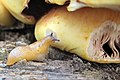 Pholiota adiposa Syn. Pholiota aurivella (GB= Golden Scalycap, D= Goldfellschüppling, F= La pholiote dorée, NL= Goudvliesbundelzwam) brown spores and causes white rot, with hungry tiny snail, see preceding images - panoramio.jpg
