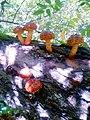 Pholiota aurivella 2015.jpg