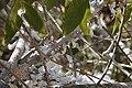 Phromnia rosea 03.JPG