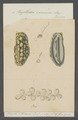 Phyllidia varicosa - - Print - Iconographia Zoologica - Special Collections University of Amsterdam - UBAINV0274 081 01 0004.tif