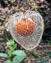 file physalis alkekengi echte lampionplant jpg wikimedia commons. Black Bedroom Furniture Sets. Home Design Ideas