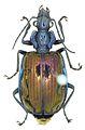 Physodera eschscholtzii - ZooKeys-284-001-g002-12.jpeg