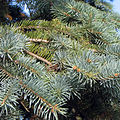 Picea pungens shoots.jpg