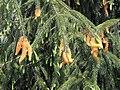 Picea smithiana with rust fungus disease AJTJ DSCN6937.jpg