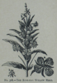 Picture Natural History - No 368 - The Rose-bag Willow Herb.png