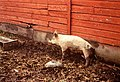 Pig next to red wall.jpg
