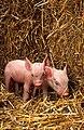 Piglets USDA.jpg