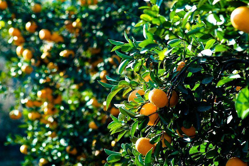 עצי תפוזים
