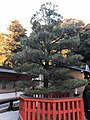 Pine tree planted by Prince Hirohito in front of Honden of Kashii Shrine 2.jpg