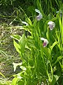 Pink Lady Slipper P7120405.jpg