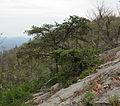 Pinus pungens Big Schloss.jpg