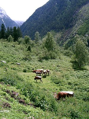 Pinzgauer cattle - Pinzgauer cattle in the Alps