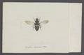 Pipiza - Print - Iconographia Zoologica - Special Collections University of Amsterdam - UBAINV0274 039 02 0056.tif