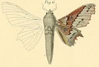 Pl.1-06-Gastropacha gersäckerii=Mimopacha gerstaeckerii (Dewitz, 1881).JPG