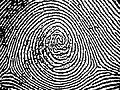 Plain whorl in a right thumbprint.jpg