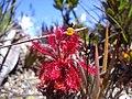 Planta carnívora (Drosera).jpg