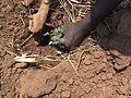 Planting tomato seedlings.jpg