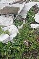 Plants am Rufikopf 30.JPG