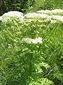 Pleurospermum austriacum003.jpg