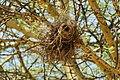 Plocepasser mahali -Nairobi Hill, Nairobi, Nairobi Area, Kenya -nests-8 (1).jpg