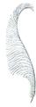 Plume de Crossette (Millot-1907).png