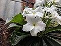 Plumeria pudica 10.jpg