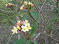 Plumeria rubra-mathur-yercaud-salem-India.jpg