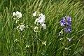 Polemonium caeruleum - img 25540.jpg