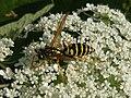 Polistes gr gallicus, male 03.jpg