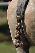 La queue d'un cheval tressée pour jouer au polo.